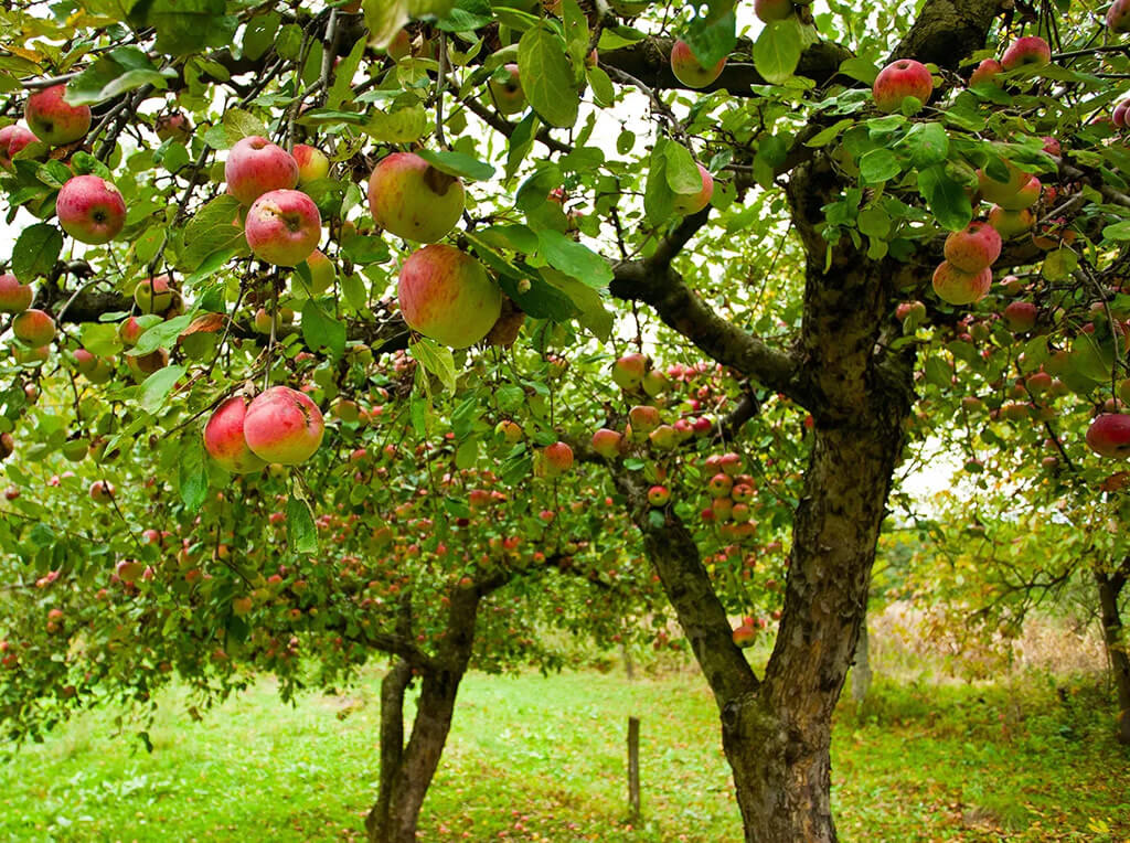Orchard-Fruit-Trees-1 (1)